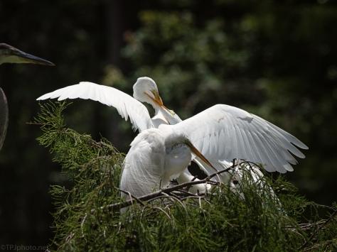 Egret Feeding Young