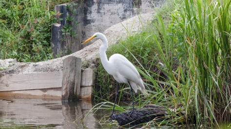 At A Rice Field Dike, Great Egret