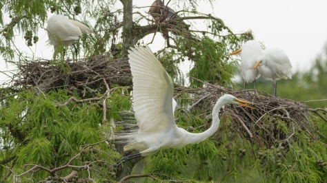 Another Quick Exit, Great Egret