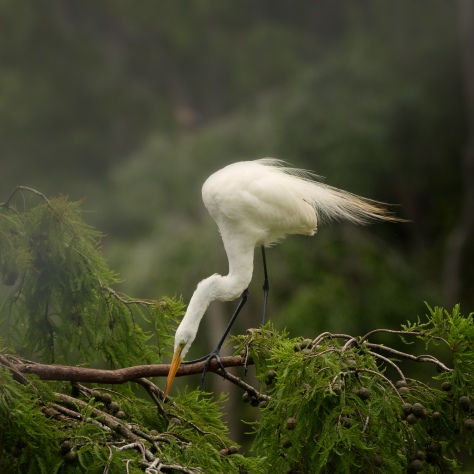 Egret In A Cypress