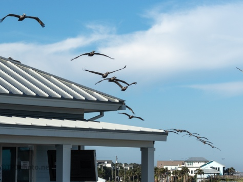 Pelicans Coming Through