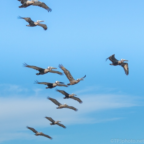 Pelican Flocks On The Move