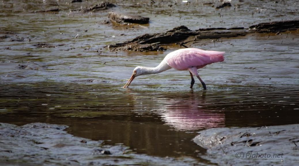 Spoonbill, Tidal Marsh