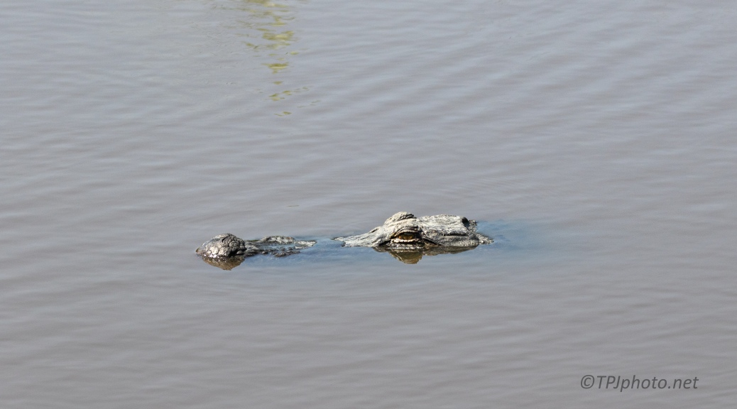 Big Fella Slipping By, Alligator
