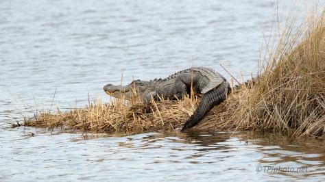 Local In The Grass, Alligator