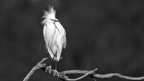 Snowy Egret, Black And White