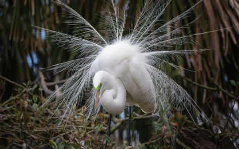 Great Egret Dance