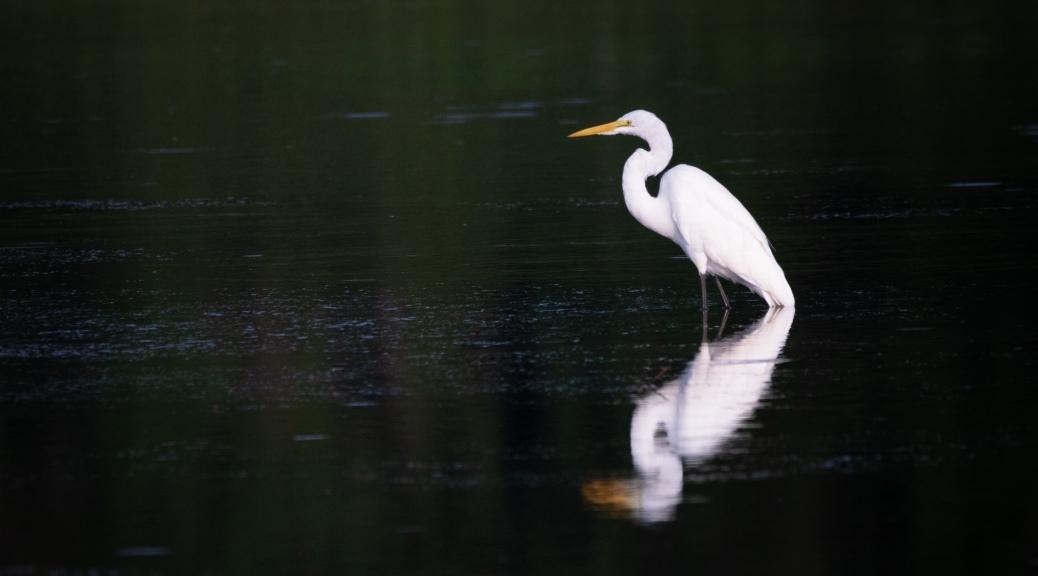 Great Egret Portrait