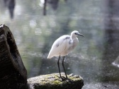Last Years Little Blue Heron