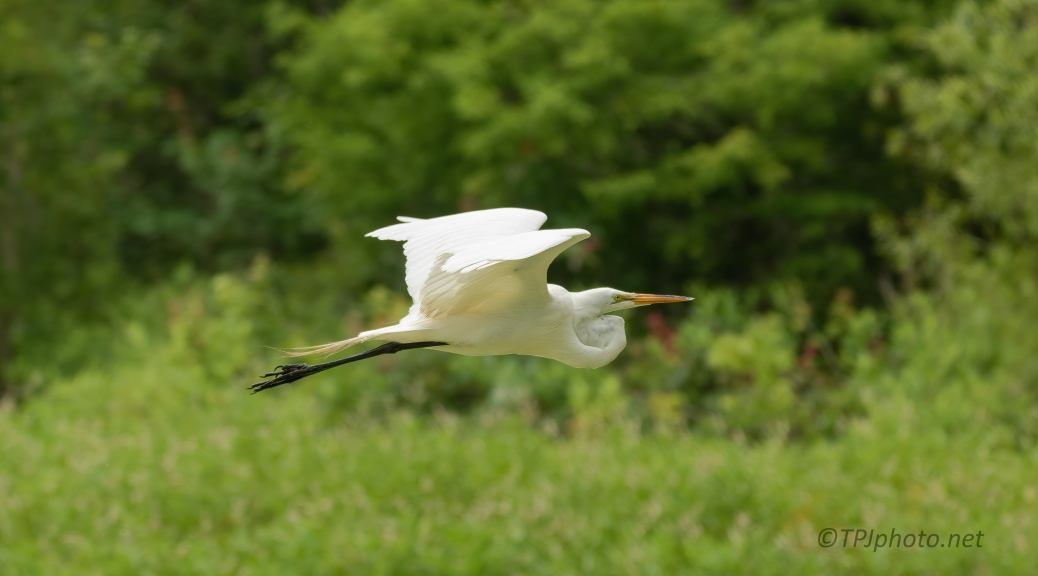 Following A Great Egret