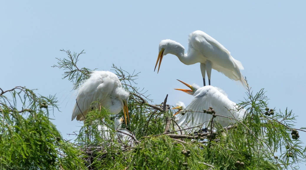 Egret Feeding The Dominate Chick