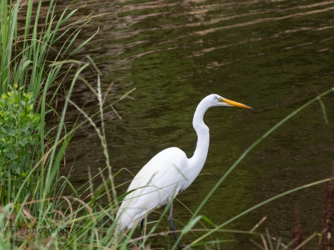 Fishing For The Young Egrets