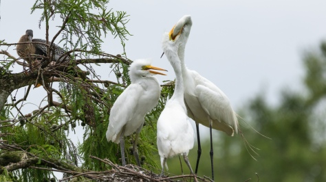 Feeding Time, Great Egret