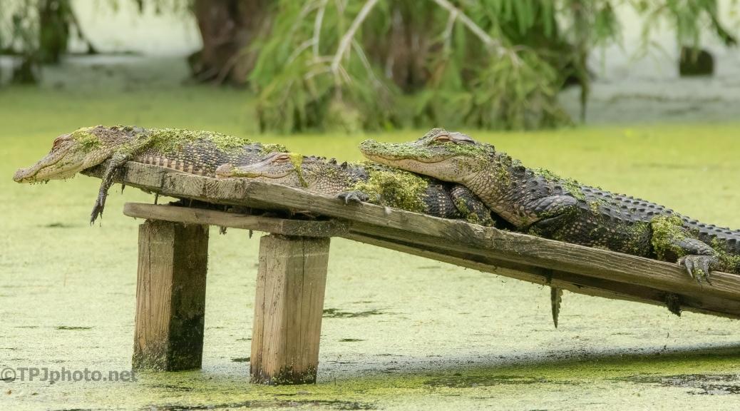 Bunch O Gator