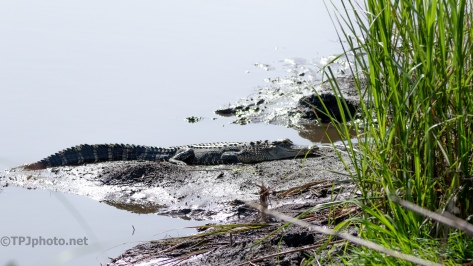 Dike Filled With Alligators
