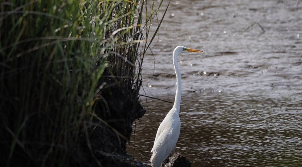 Off In A Large Marsh, Egret