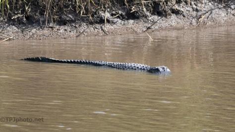Dike Filled With Alligators