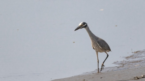 Yellow-crowned Night Heron, Salt Marsh