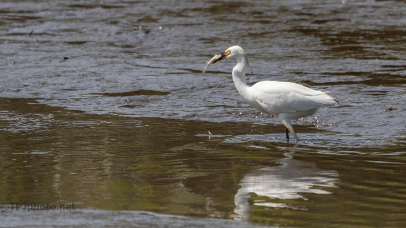 I'll Have It Later, Snowy Egret