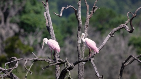 Roseate Spoonbill Play To The Camera