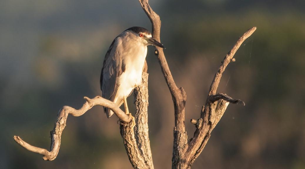 Marsh Morning, Black-crowned Night Heron