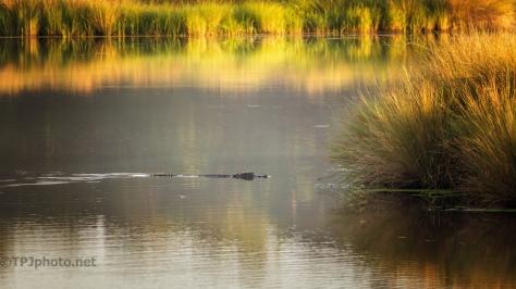 Marsh Morning, American Alligator
