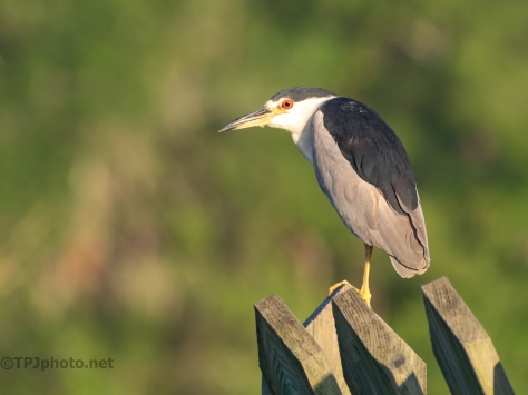 Night Heron On A Trunk