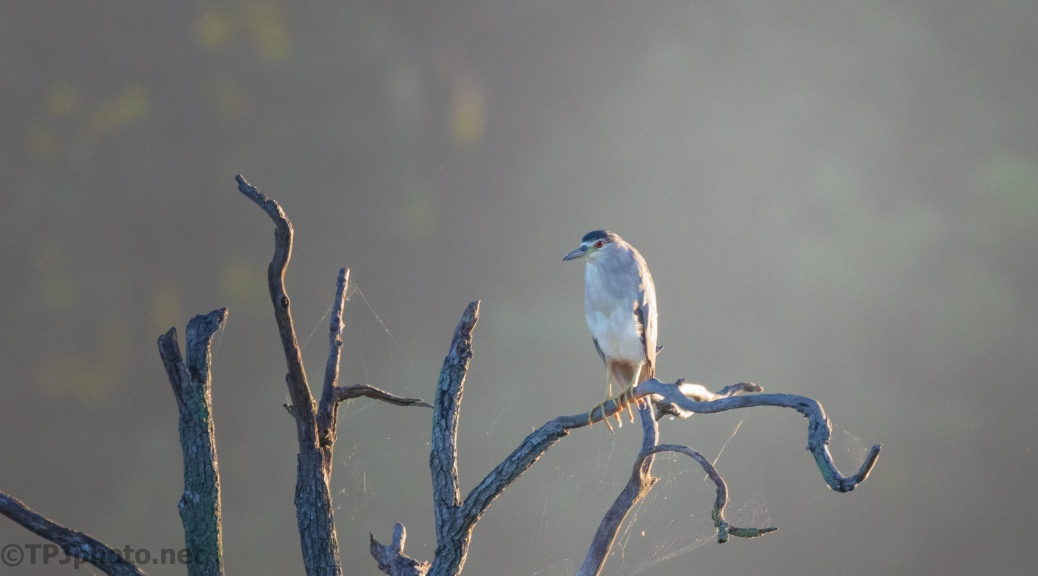 Another Morning Light Photograph, Night Heron