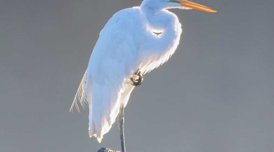 Great Egret Early Morning