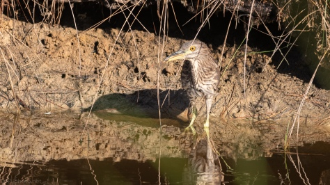 Baby Face, Black-crowned Night Heron