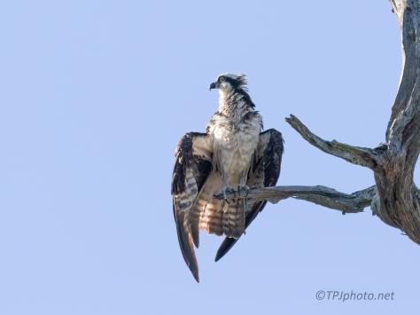 Getting Dry, Osprey