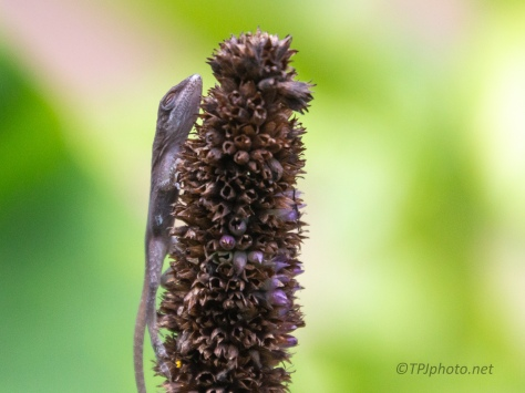 On A Dry Flower, Anole