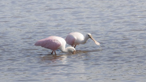 Side By Side, Roseate Spoonbill
