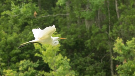 Elegant Flight, Egret