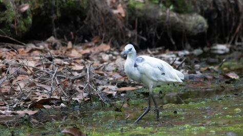 Little Blue Heron In A Swamp
