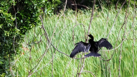 Landed Some How, Anhinga