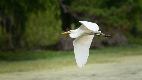 Egret, Green Swamp