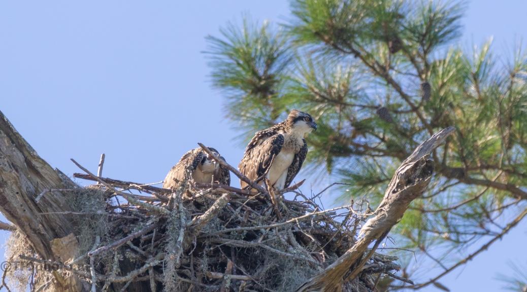 Osprey Tree (2)