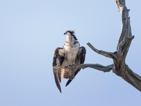 Osprey Tree