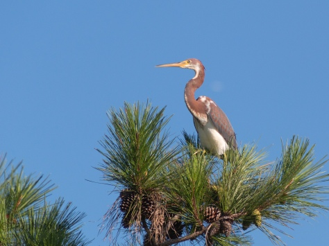 Juvenile Tricolored Heron Up Top