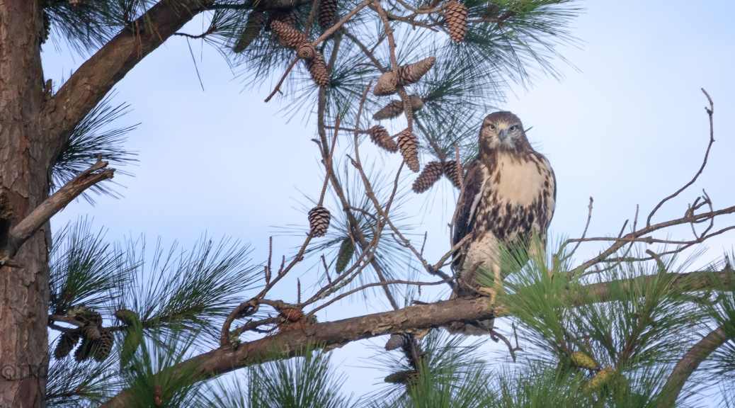 Red-tailed Hawk And A Whistler