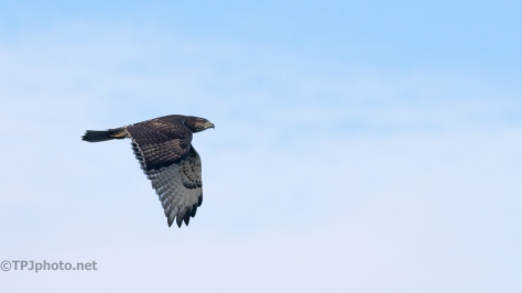 Red-tailed Hawk And A Whistler (2)