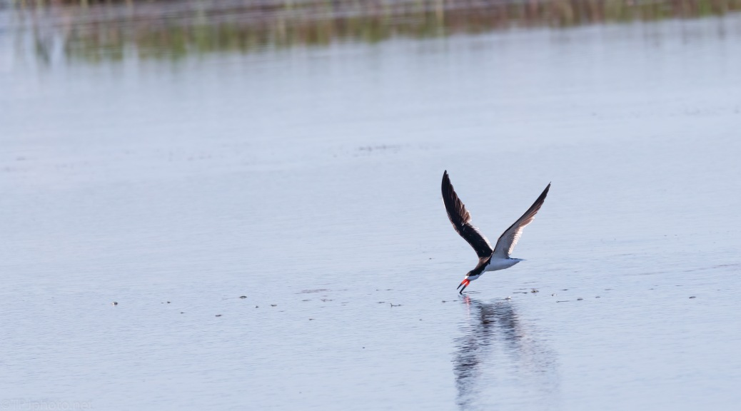 Skimmer Working An Open Marsh