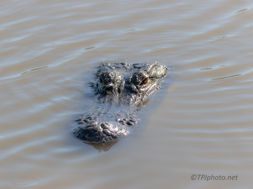 Checking A Dike, Alligator (4)