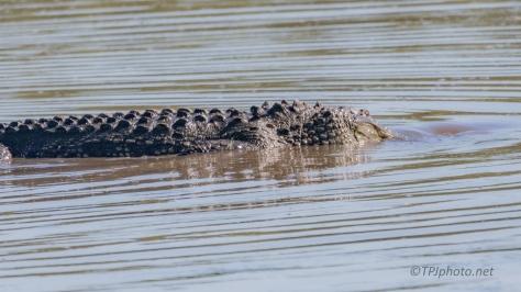 Checking A Dike, Alligator (3)
