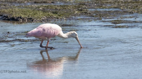 Taking Advantage Of Low Water, Spoonbill
