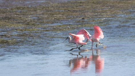 The Chase, Roseate Spoonbill