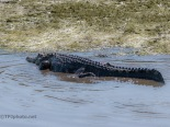 Checking A Dike, Alligator (5)