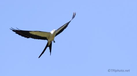 Swallow-Tailed Kite, Master Acrobat