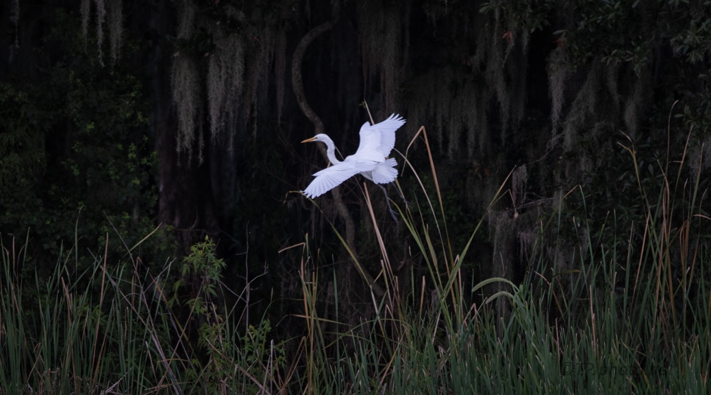 Egret Slpping By